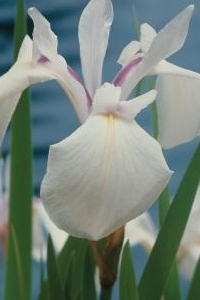 Iris sibirica 'Snow Queen'