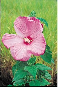 Hibiscus palustris