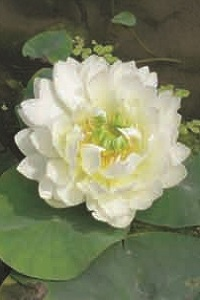 Nelumbo white