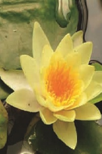 Nymphaea 'Yellow Sensation'